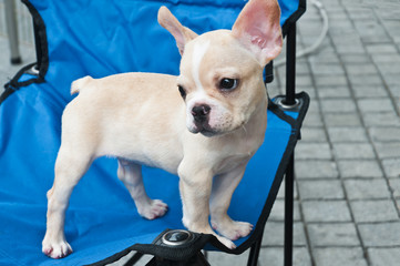 Small lovely cream-colored chihuahua