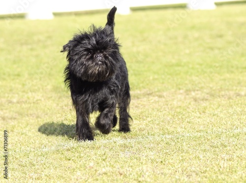 Foto op Canvas Aap Affenpinscher dog