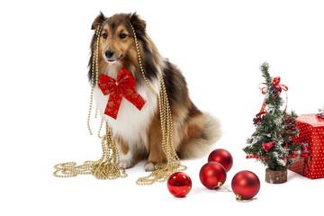 Elegant shetland sheepdog