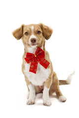 Cute dog wearing red bow
