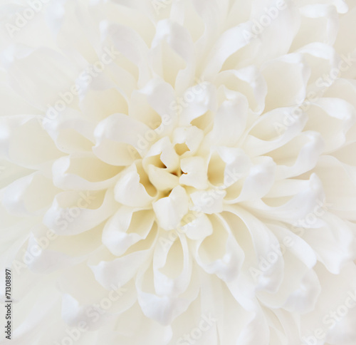 Papiers peints Marguerites White chrysanthemum flower