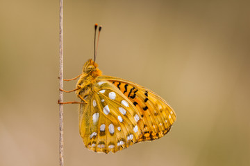 Dark Green Fritillary (Argynnis aglaja) Butterfly resting on Gra