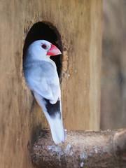 Java sparrow (Parra oryzivora)