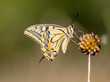 Swallowtail (Papilio machaon) resting on Allium Plant in the Mor