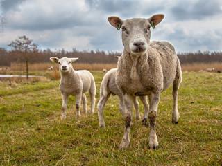White Sheep Family