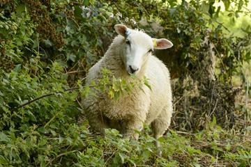 sheep at Abbey park 03 , Lacock