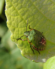Green bug larva