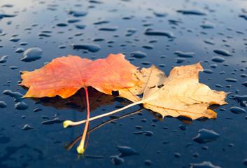 Herbst Blätter Herbstlaub auf Autolack mit Wassertropfen