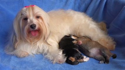 Cute mom Havanese dog breastfeeds her two little puppies