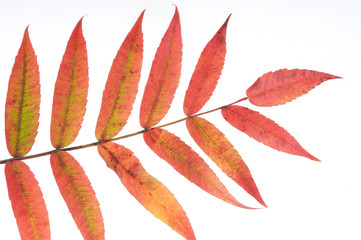 Herbst, rotorgangefarbenes Blatt eines Essigbaumes