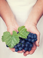 Elderly hands holding organic fresh wine grapes with vintage sty
