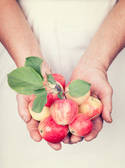 Elderly hands holding organic fresh apples with vintage style