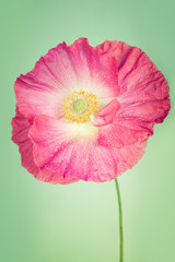 Pink poppy flower on light turquoise  colour vintage background