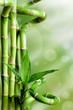 Bambusy na zielonym tle - 71315021