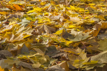 Autumn. A carpet from fallen leaves in Pak on a lawn