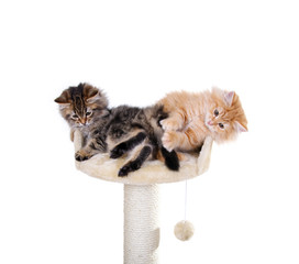 Katzenbabys auf dem Kratzbaum