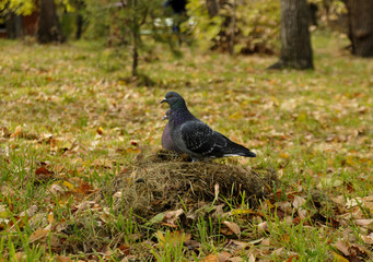 Dove sitting on a pile of dry grass of autumn leaves