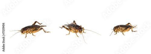 Papiers peints Autre Brown cricket