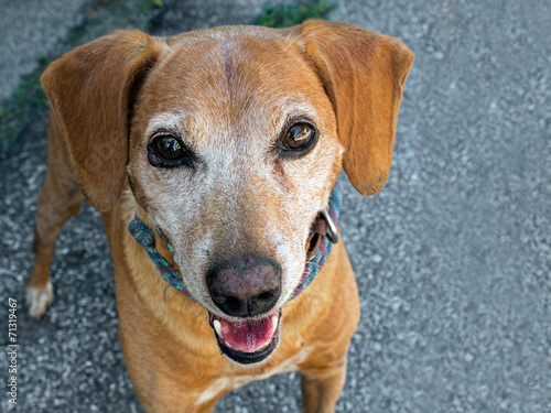 canvas print picture Small brown dog, mongrel, in street