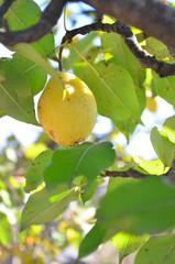 Желтая груша висит на ветке