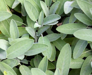 Wild Sage Green leaves