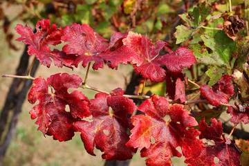 red vine leaves in the vineyard in autumn