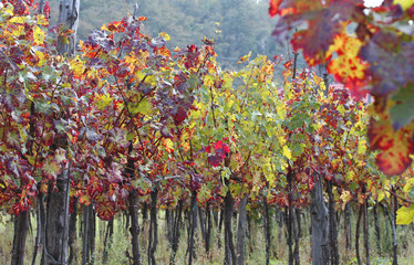 long row of vines in the Tuscan countryside in autumn