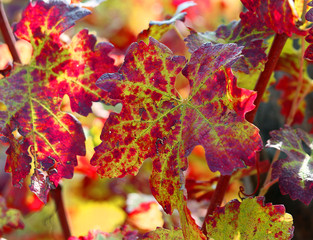 red vine leaves in vineyard in autumn