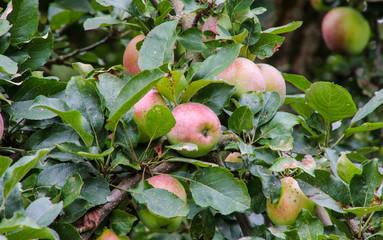 Apfelerntezeit