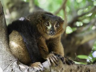 a beautiful red ruffed lemur (Varecia rubra)