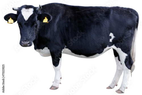 Foto op Canvas Koe Holstein cow
