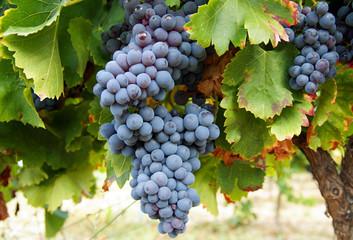 Franzosische blaue Weintrauben