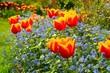 canvas print picture - Tulpe und Vergissmeinicht  - tulip and forget-me-not 02