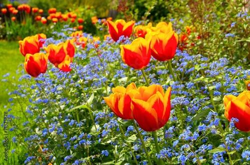 canvas print picture Tulpe und Vergissmeinicht  - tulip and forget-me-not 02