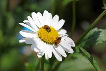 Beetles on the camomile