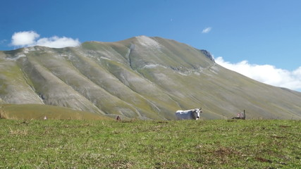 Mountain blooming pastures of cows in Italy