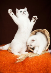 two British kittens of white color with a basket