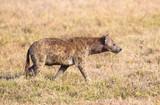 Hyena walks alone in Africa