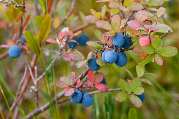 bush of bog bilberry