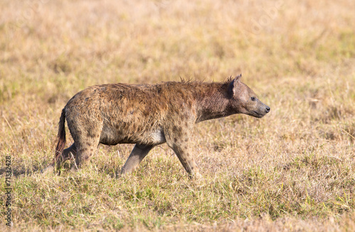 Foto op Aluminium Hyena Hyena walks alone in Africa