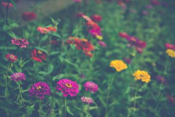 Colorful Dalia flowers background