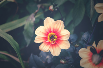 Dalia flower on retro background