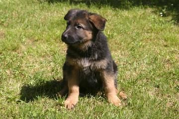 cucciolo di cane pastore tedesco