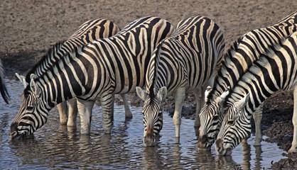 Trinkende Zebras am Wasserloch im Etosha Nationalpark, Namibia