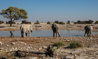 Three Elephants at Okaukuejo Waterhole, Etosha, Namibia