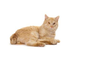 Kurilian Bobtail red cat