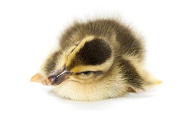 Little Baby Duck