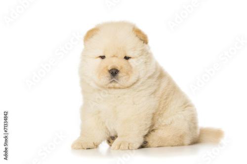chow-chow puppy © Nikolai Tsvetkov