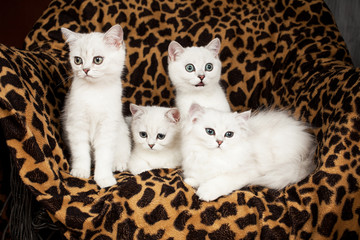 British kittens of white color