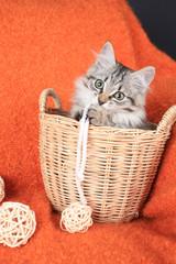 little grey kitten is in a basket